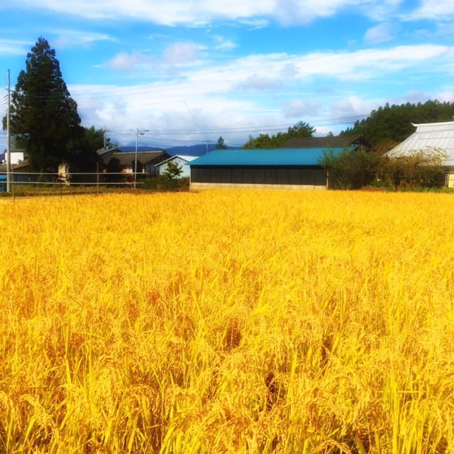 黄金色に輝く無農薬米「小松姫」♪
