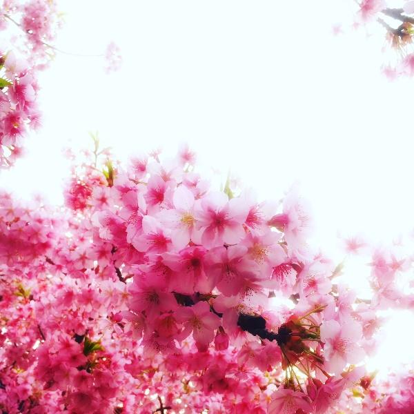 河津桜は一足早く満開♪
